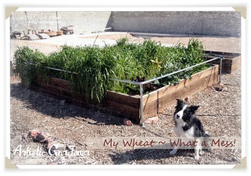 White Sonora Wheat